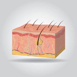 מבנה העור
